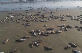 علت مرگ گربه ماهیان در ساحل جاسک مشخص شد